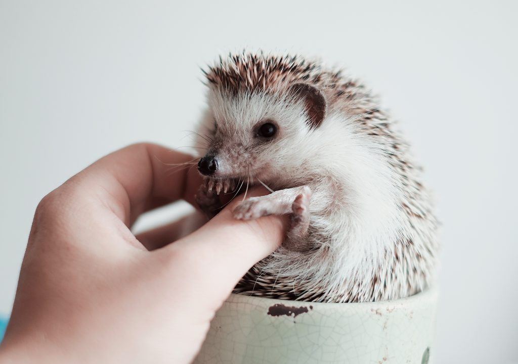 Hedgehogs are not good for being an emotional support animal