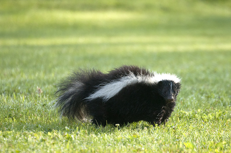 Skunks can be an emotional support animal only in 33 states of America
