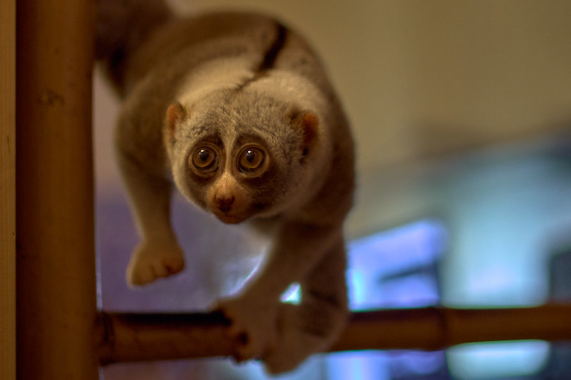 Slow lorises are illegal in the USA to be an emotional support animals