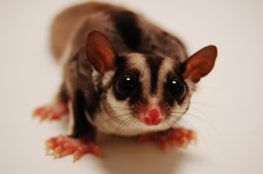 Sugar gliders are cute enough but states forbid them to be an emotional support animal